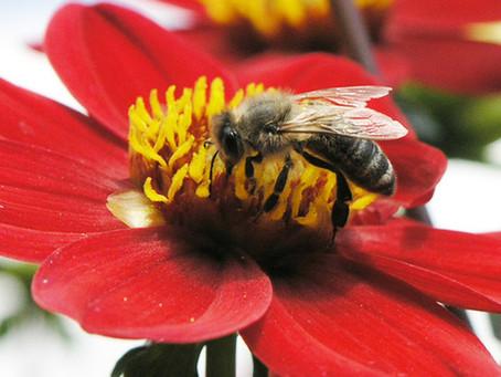 Prospěšná ochranná ruka pro včelu kraňskou
