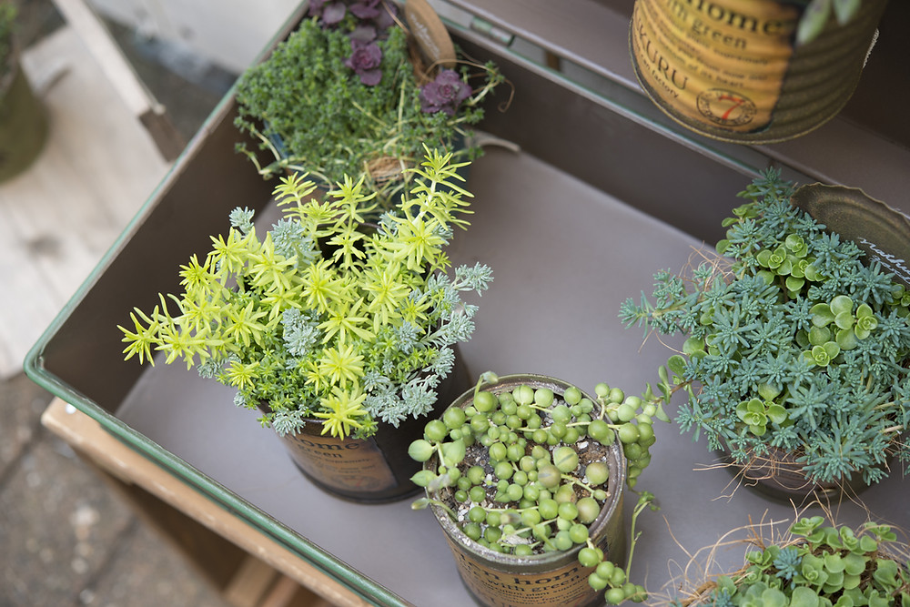 Succulent plants potted in vintage tin cans from arial view.