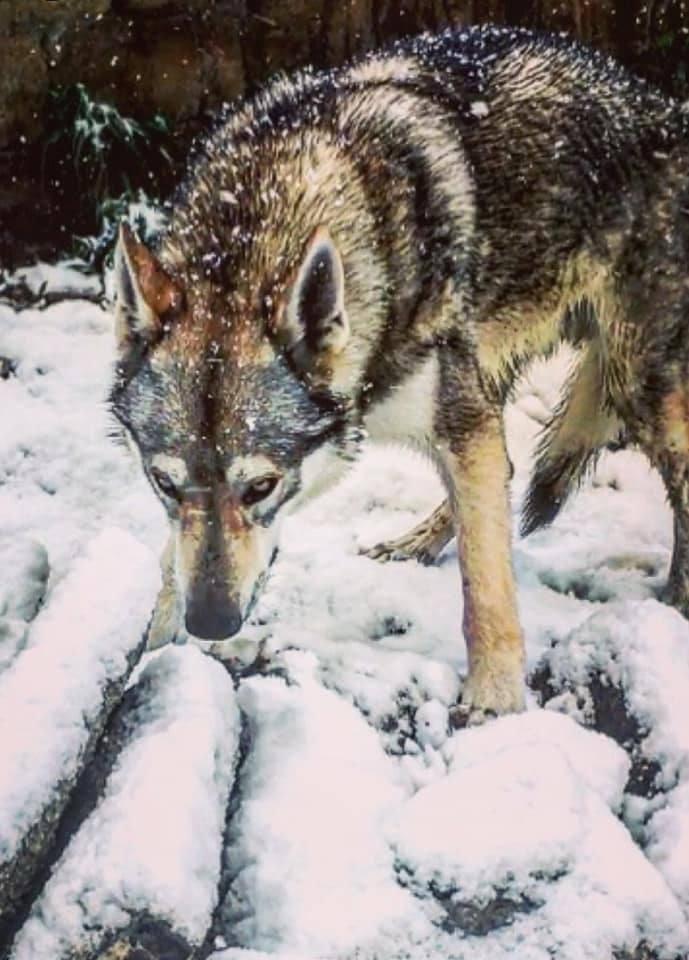 L'SHADE wolf del branco della luna p