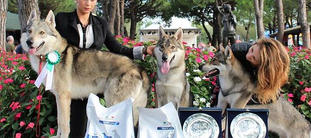 cuccioli cane lupo cecoslovacco allevamento il branco della luna piena