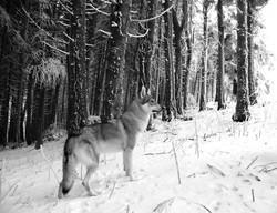 Nikita del branco della luna piena ... in the snow ... #ilbrancodellalunapiena www.ilbrancodellaluna