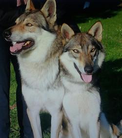 Padre e figlia❤ cuccioli di cane lupo cecoslovacco