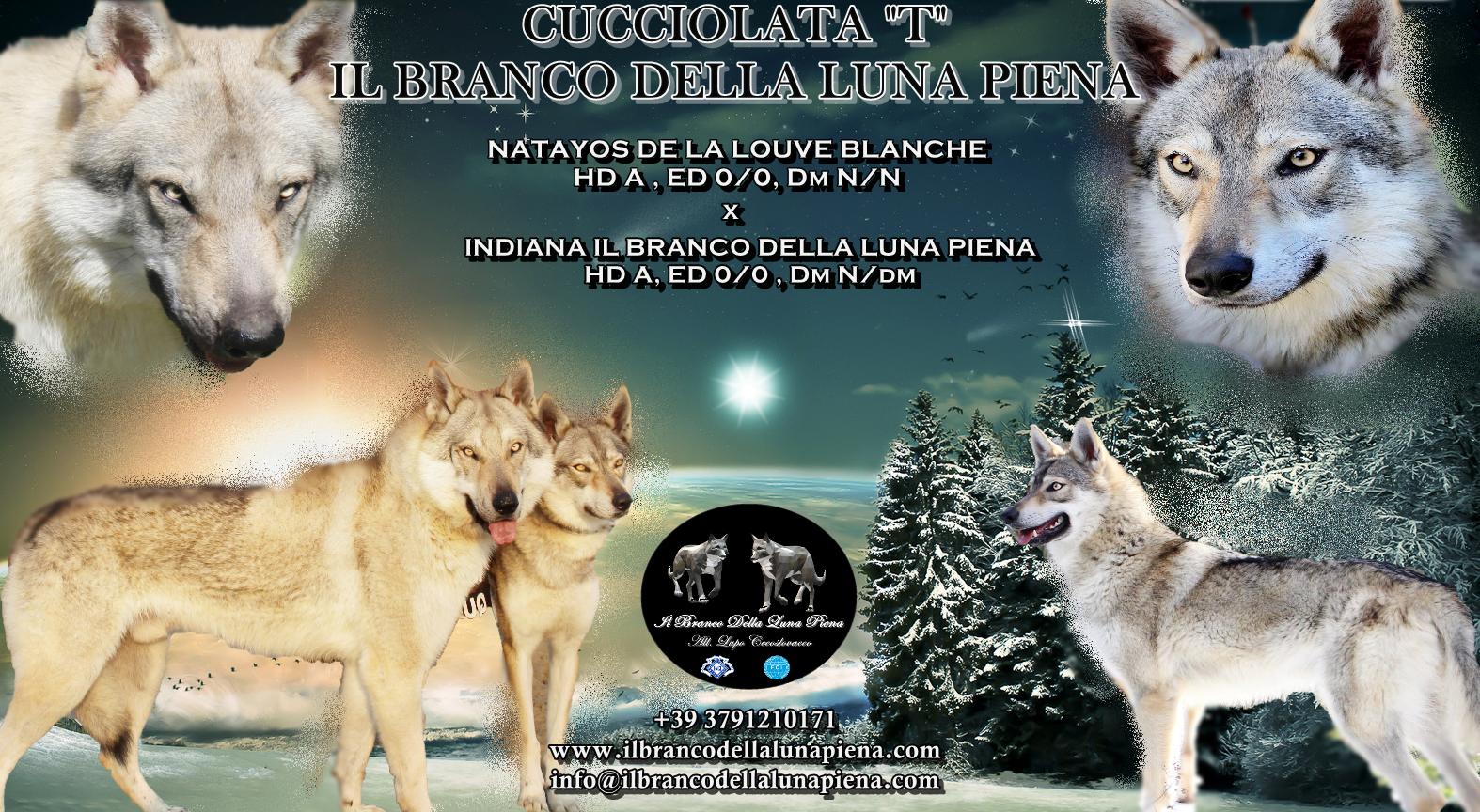 cuccioli di lupo cecoslovacco romagna , allevamento lupo cecoslovacco il branco della luna piena, SE