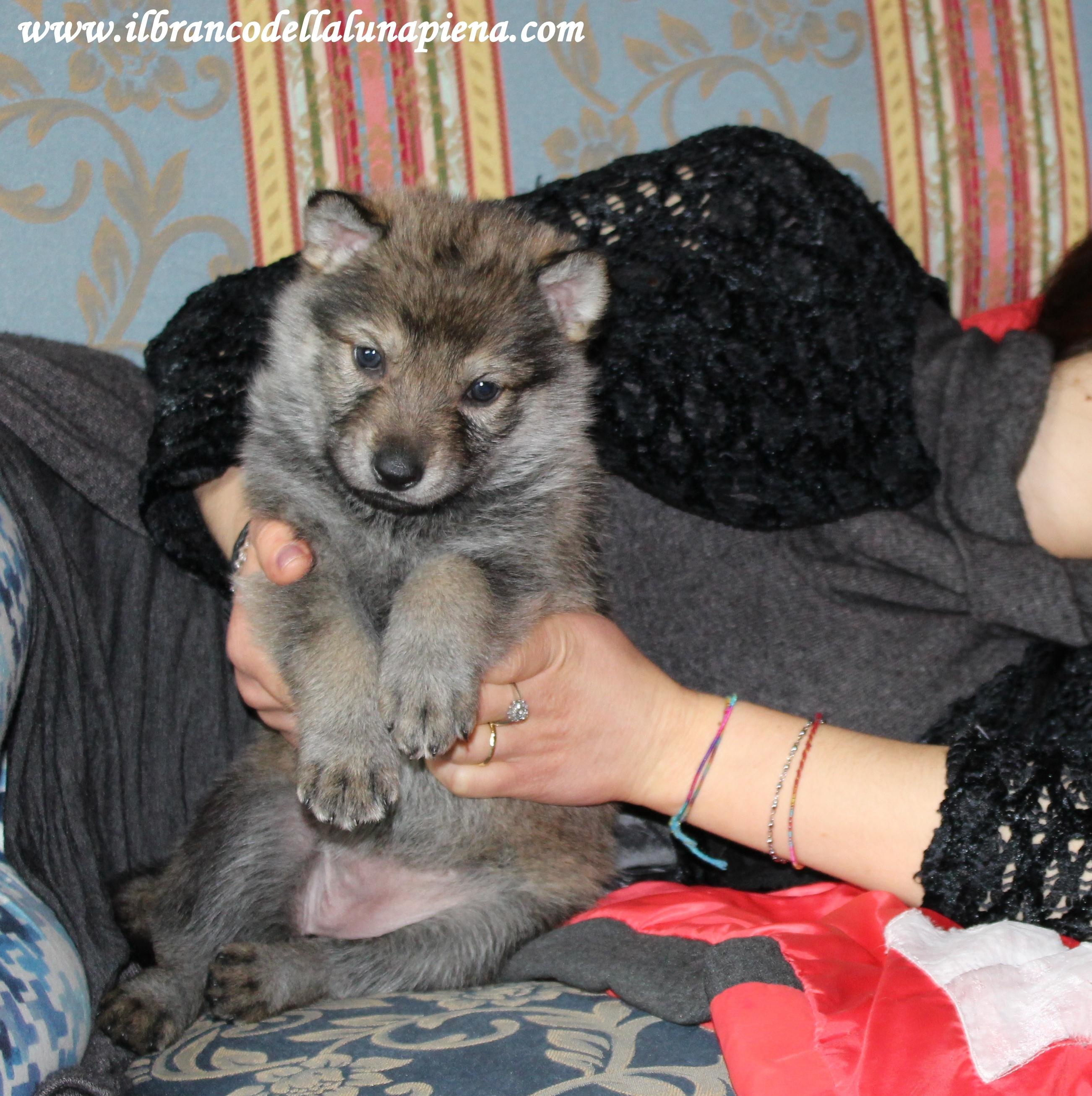 cuccioli lupo cecoslovacco