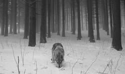 Nikita del branco della luna piena Branco Della Luna Piena allevamento cane lupo cecoslovacco