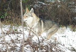 allevamento lupo cecoslovacco il branco della luna piena