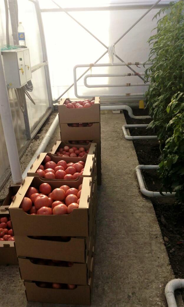 теплица с помидорами, полив