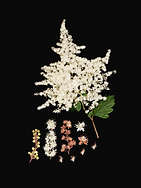 FAMILY: ROSACEAE. (HOLODISCUS DISCOLOR) OCEANSPRAY
