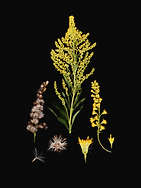FAMILY: ASTERACEAE. (SOLIDAGO CANADENSIS) CANADA GOLDENROD