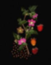 SalmonBerry_w3-40_-3berries.jpg