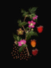 SalmonBerry_w3-40_-3berries.jpg