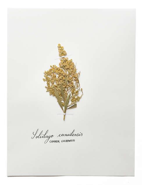 HERBARIUM: ASTERACEAE. (SOLIDAGO CANADENSIS) CANADA GOLDENROD