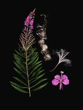 FAMILY: ONAGRACEAE. (CHAMAENERION ANGUSTIFOLIUM) FIREWEED