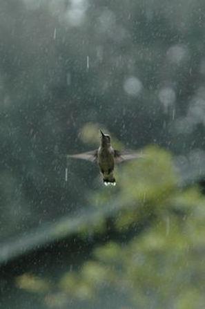 Vogeltje in de regen vliegend.jpg