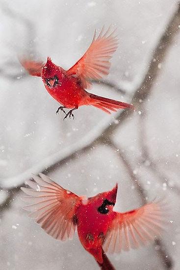 rode vliegende vogels.jpg