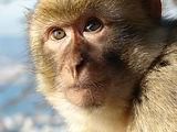 Gibraltar_Barbary_Macaque.jpg