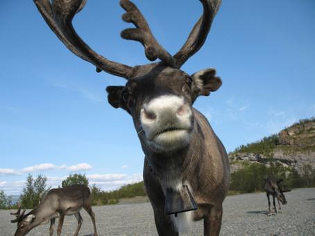 Reindeer Poop!