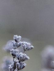 lavender menu 5.jpg