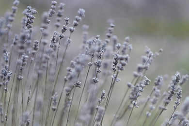 lavender-4976080_1920.jpg