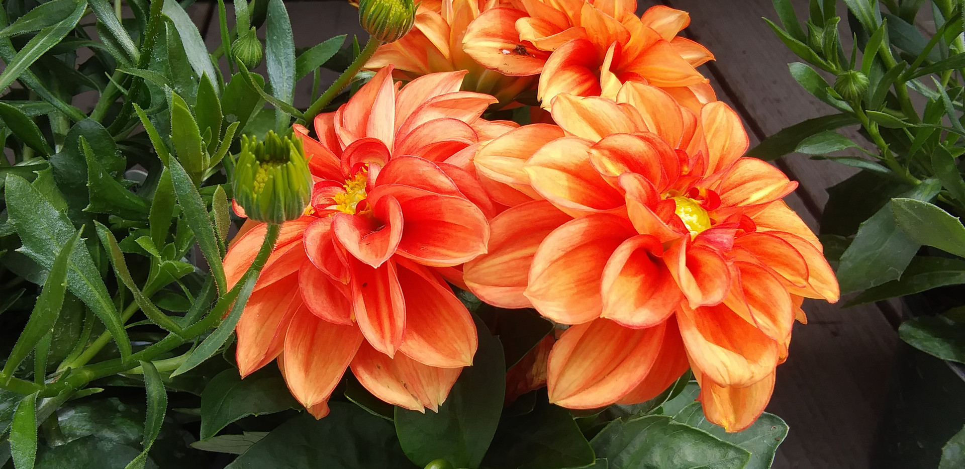 Dahlias in so many colors!