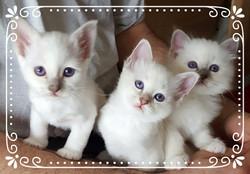 Les 3 petits lilac