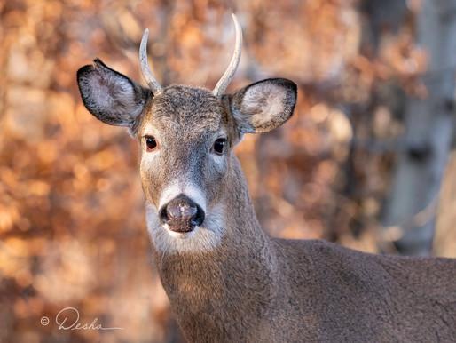 As the Deer...or Buck.