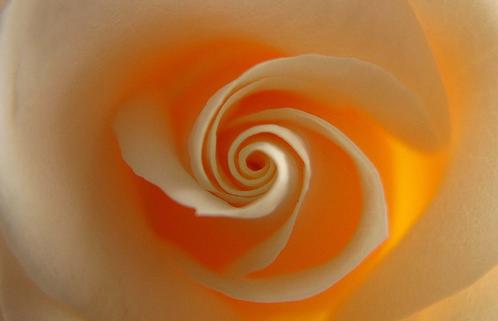 Mystic Spiral Rose