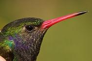 Blue-throated-Goldentail-Hylocharis-elic