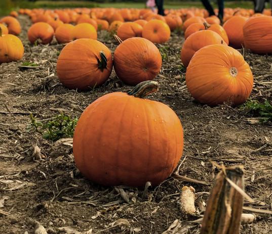 Pumpkin%20Field_edited.jpg