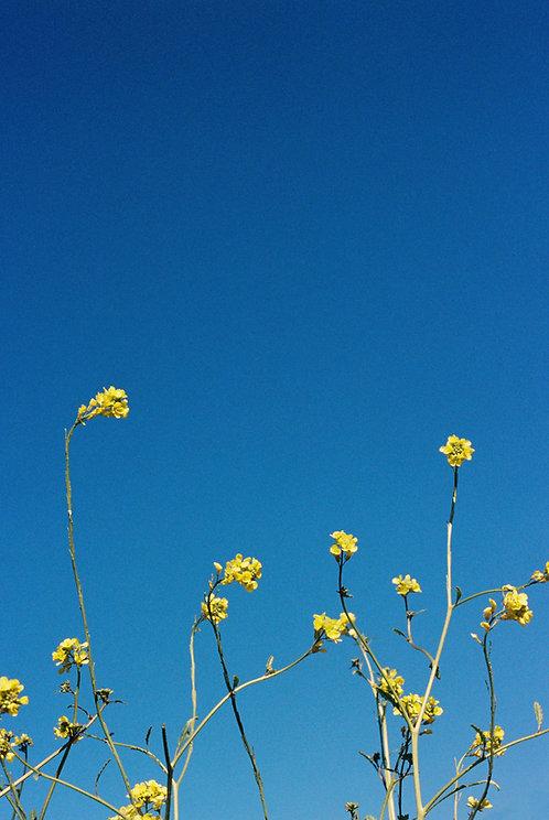 Wild Flowers, California