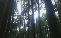 志高湖周辺の杉の木の林道