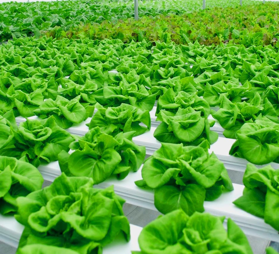 lettuce growing