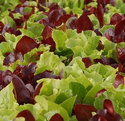 lettuce seedling red and green square