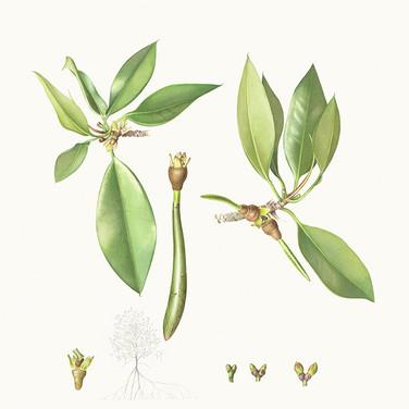 Rhizophora apiculata