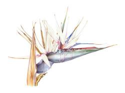 Stretlitzia nicolai