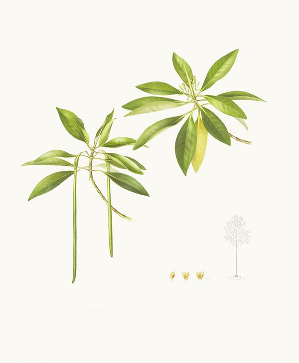 Bruguiera parviflora