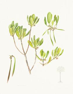 Ceriops australis