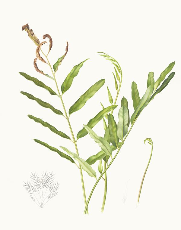 Acrostichum speciosum
