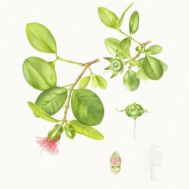 Sonneratia x gulngai