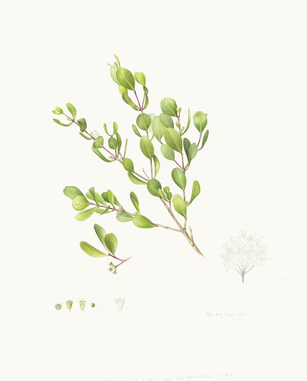 Osbornia octodonta
