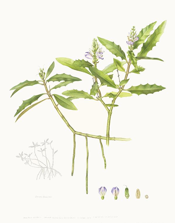 Acanthus ilicifolius