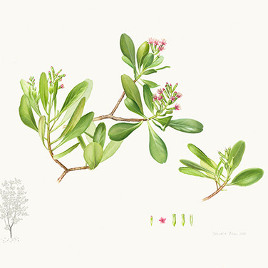 Lumnitzera x rosea