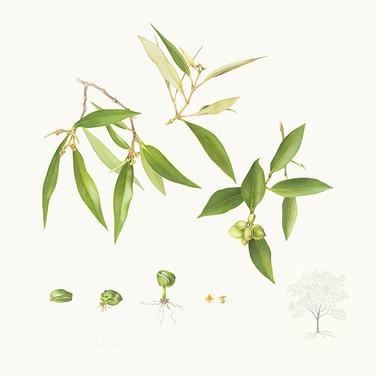 Avicennia marina var. eucalyptifolia