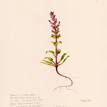 North Beach (Lamiaceae)