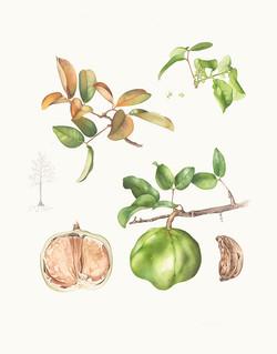 Xylocarpus moluccensis