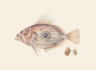 John Dory with two shells.jpg