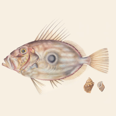 John Dory with two shells