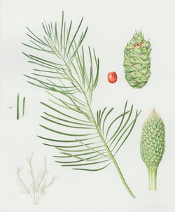 Macrozamia flexuosa