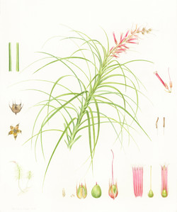 Dracophyllum macranthum