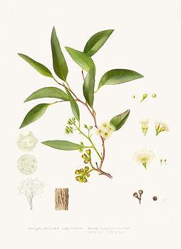 Eucalyptus-paniculata-subsp.-mutatina-a.